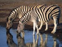 Burchells Zebra - Equus Burchelli