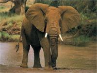 Elephant - Elephantidae