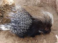 Porcupine - Hystrix africaeaustralis
