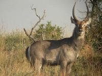 Waterbuck - Kobus ellipsiprymnus
